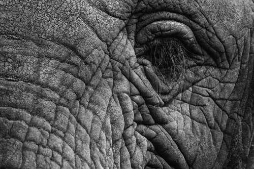 Elephant Eye Eyelashes Skin Thick Skin Grey Fold