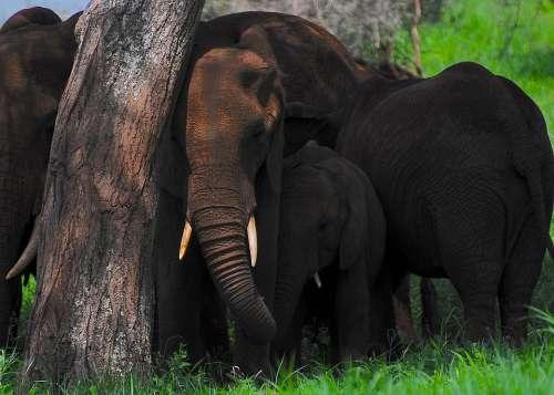 Elephant Africa Safari Wildlife Trunk Wilderness
