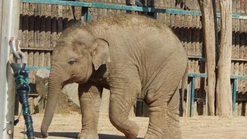 Elephant Alone Endangered Ear Ivory Safari Zoo