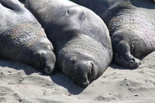 Elephant Seal Coast Beach California Seals Usa