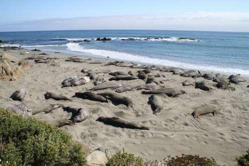 Elephant Seal Coast California Usa Beach Animal