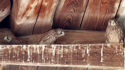 Falcon Bird Of Prey Raptors Young Hawk Nest