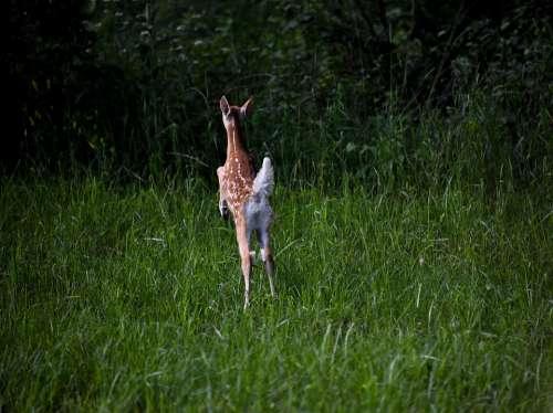 Fawn Deer Baby Jump Spots Woods Nature