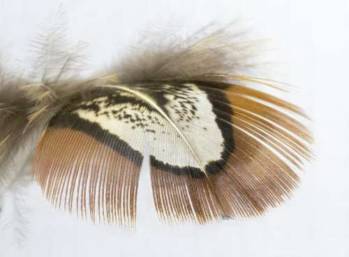 Feather Pheasant Shoulder Markings Bird Plumage