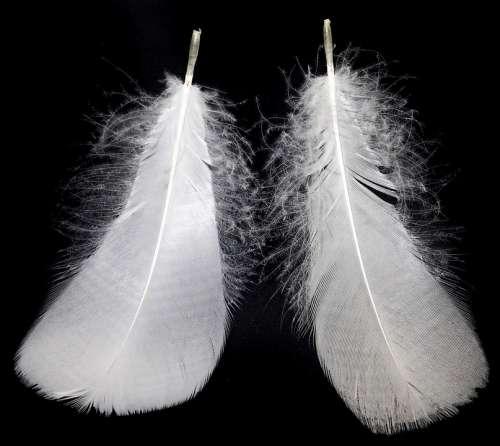 Feathers Plumage Goose Bird Nature