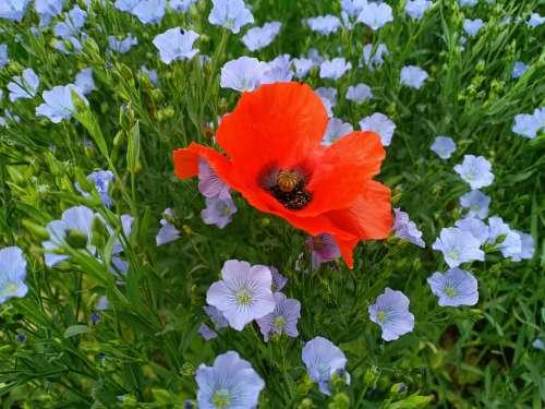 Flax Linen Flax Seed Flowers Poppy