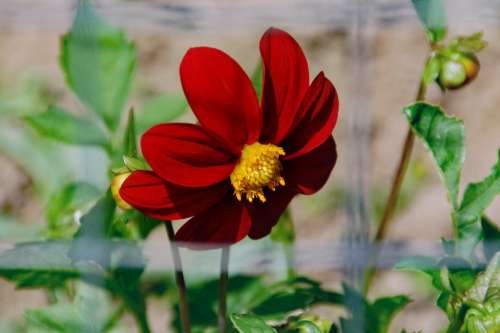 Flower Red Mexican Sunflower Bloom Summer