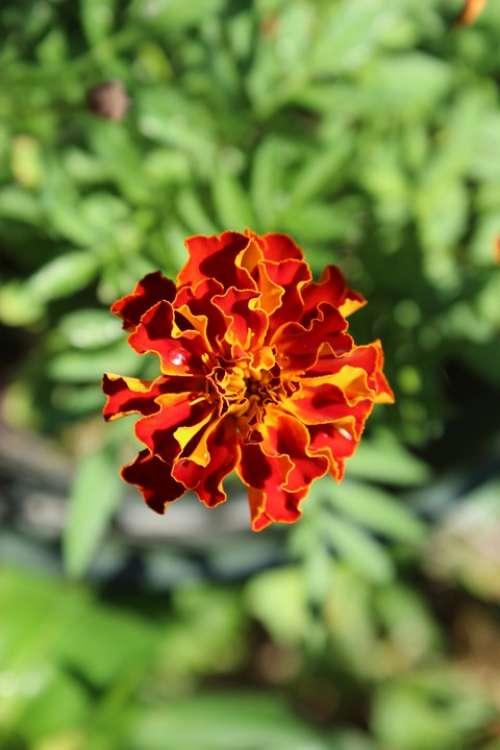 Flower Bright Outdoor Garden Blossom Summer Bloom