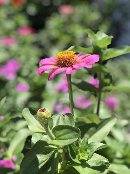 Flower Bud Pink Garden