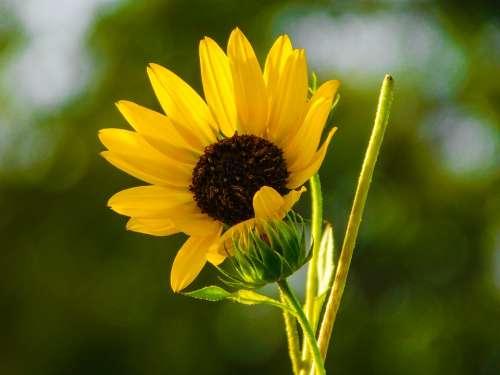 Flower Yellow Garden Sunflowers Green Tree