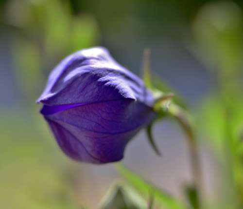 Flower Bellflower Vegetable Flora Blue Purple
