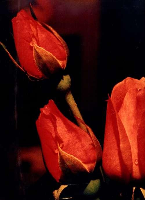 Flower Rosa Red Dark Night Flowers Nature