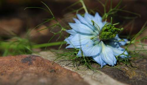 Flower Nigella Damascena Love-In-A-Mist Nigella