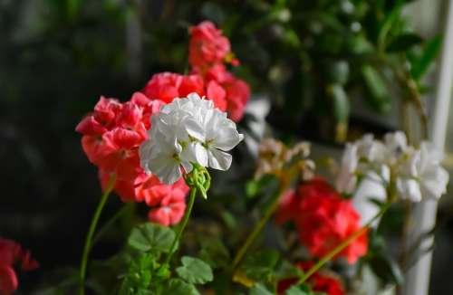 Flower Geranium Pink White