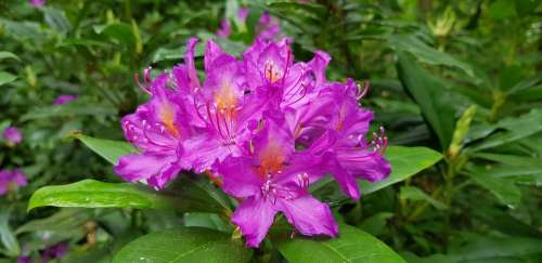 Flower Rhododendron Bloom Garden Nature Leaves