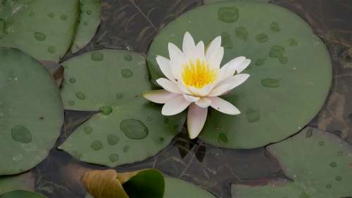Flower Plant Aroma Water Lily