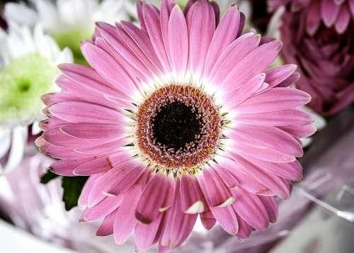 Flower Blossom Dahlia Daisy Bloom Petals Plant