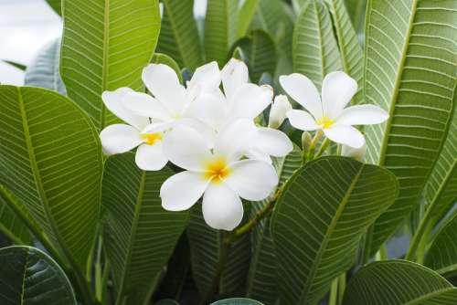 Flower White Botanical Flowers Plant Nature Open