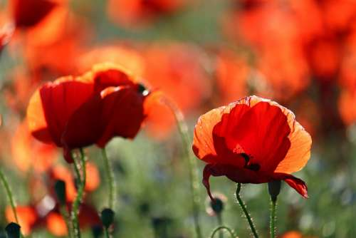 Flower Meadow Klatschmohn Nature Poppy Red Summer