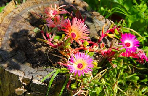 Flowers Daisies Bloom Nature Blossom Summer Pink