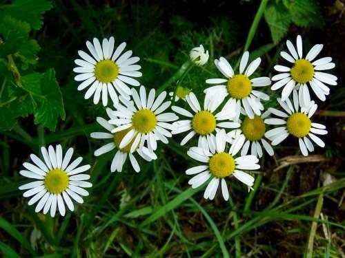 Flowers Daisy Pharmacy Drug Summer Bloom Nature