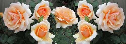 Flowers Roses Fragrant Perfume Blooms Garden
