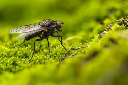 Fly Blowfly Insect Compound Eyes Hair Green Moss