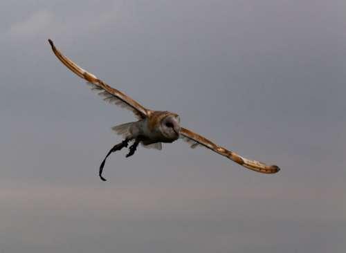 Flying Owl European Owl White Owl Captive Owl