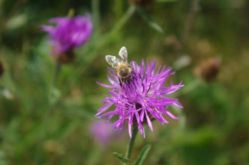 Foraging Bee Flower Clover Violet Pollinator
