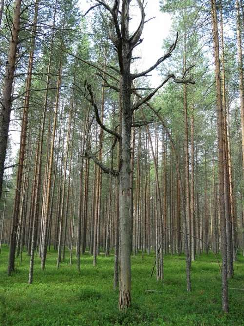 Forest Pine Trees Dried Landscape Evergreen