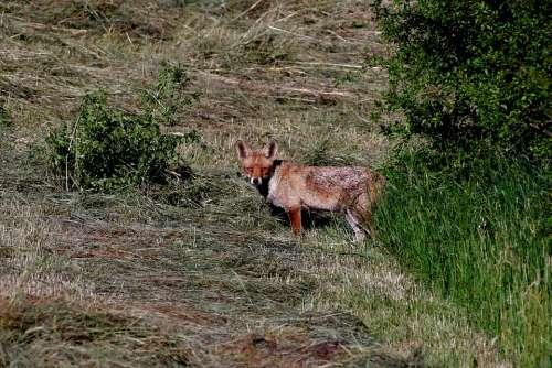 Fox Predator Mammal Wild Nature Fauna Hairy