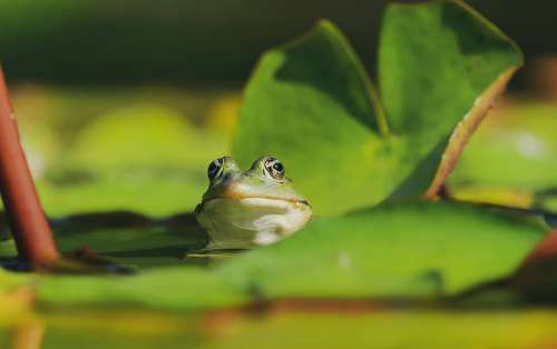 Frog Water Frog Frog Eyes Animal Green Water