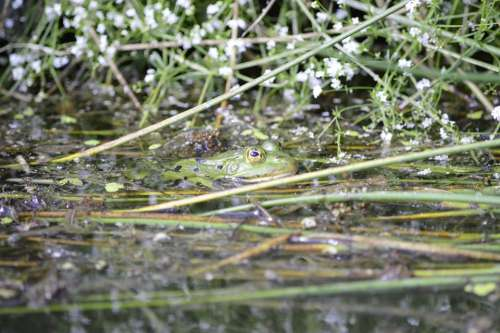 Frog Pond Animal Water Water Frog Frog Pond High