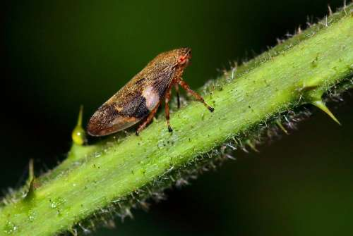 Froghopper Macro Insect Summer Fauna Bug Durham