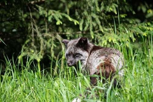 Fuchs Darwin Fox Mammal Animal Animal World