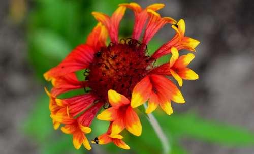 Gaillardia Fanfare Flower Flowers Garden Summer