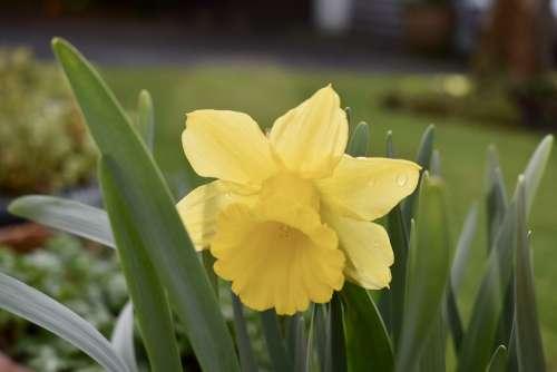 Garden Daffodil Spring Flower Bloom Plant Yellow