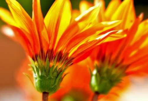 Gazania Flowers Yellow Orange Flower Nature Flora