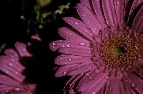 Gerbera Flowers Flower Violet Dewdrop