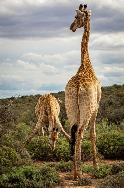 Giraffe Safari Africa Savannah Bush Drink Spread