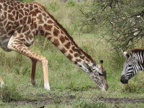 Giraffe Africa Nature Neck Wildlife Safari