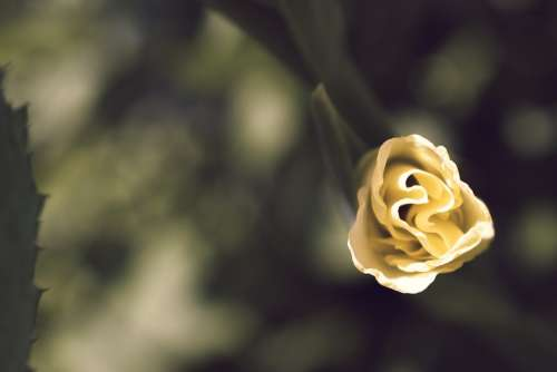 Gladiolus Macro Yellow Petals Blossom Gladioli