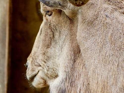 Goat Buck Billy Goat Detail Close Up Creature