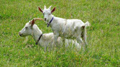 Goats Goat Kid Animal Farm White Green