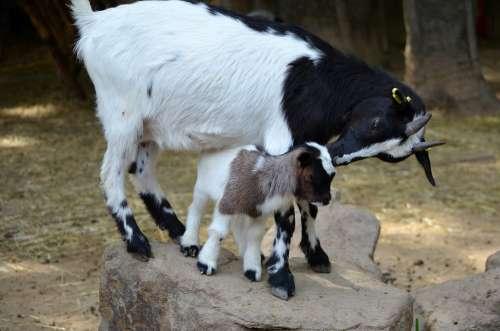 Goats Dam Kitz Kid Brown White Animal World
