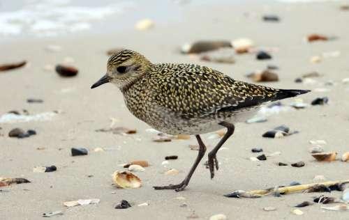 Golden Plover Bird Beach Mussels
