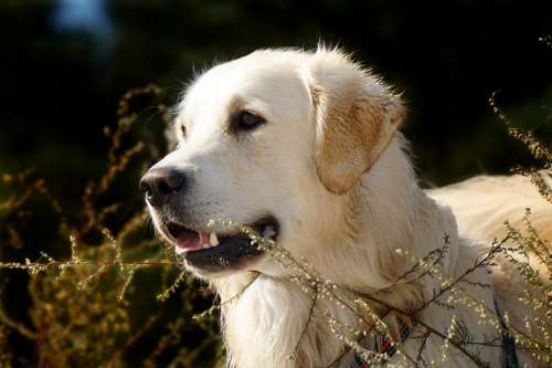 Golden Retriever Dog Animal Pet Animal Portrait