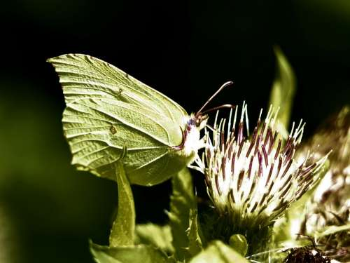 Gonepteryx Rhamni Butterfly Nature Insect