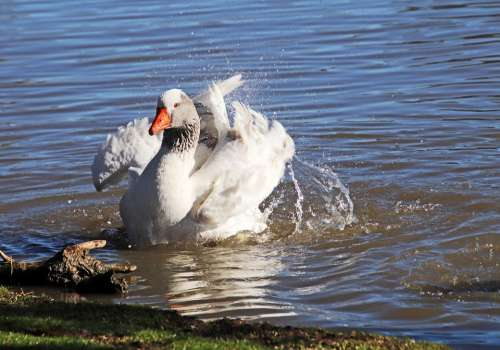 Goose Bird Poultry Bathing Splashing Lake Nature
