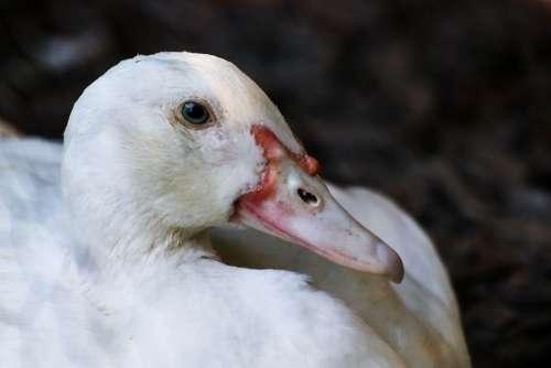 Goose Animal Bird Nature Water Bird Poultry